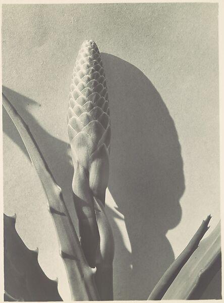 Imogen Cunningham   Aloe   The Met