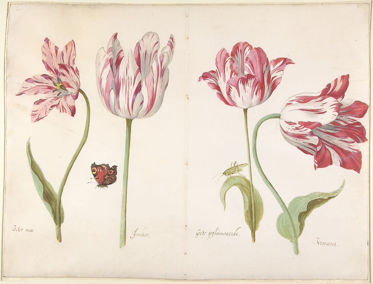 Jacob Marrel | Four Tulips: Boter man (Butter Man), Joncker (Nobleman), Grote geplumaceerde (The Great Plumed One), and Voorwint (With the Wind) | The Met