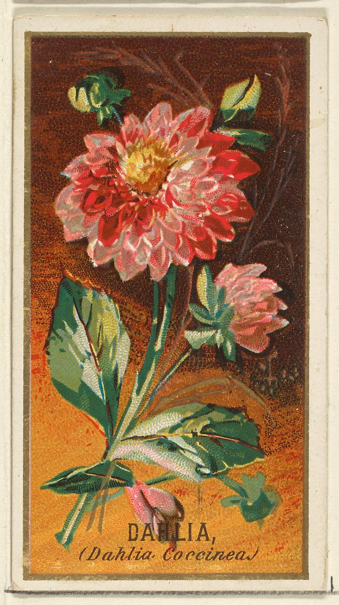 Issued By Goodwin Company Dahlia Dahlia Coccinea From The