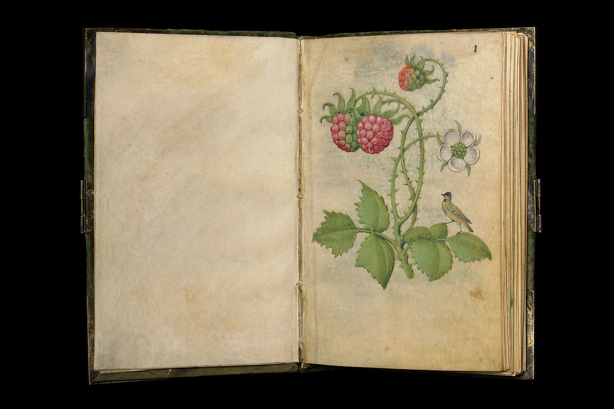 Folio 1: Blackberry, unripe fruits and flower (lat. Rubus sectio rubus) with a jaybird